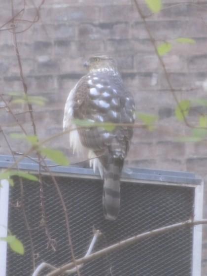hawk2 courtesy Lynn Decker