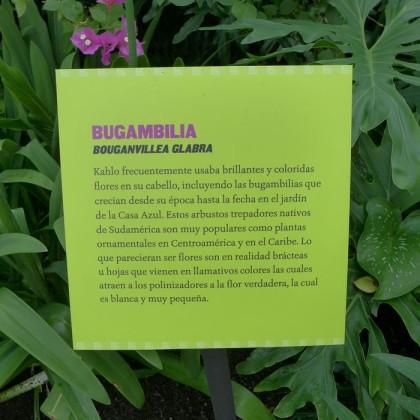 New York Botanical Garden bugambilia