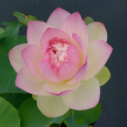 New York Botanical Garden lotus