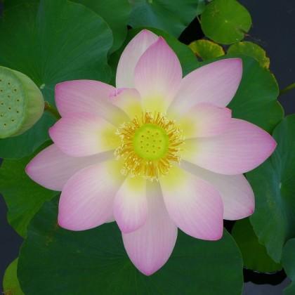New York Botanical Garden lotus2