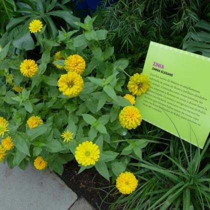 New York Botanical Garden zinia