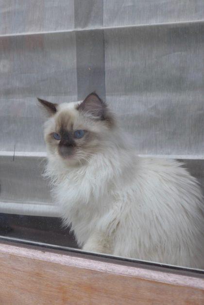 71 Warren white cat