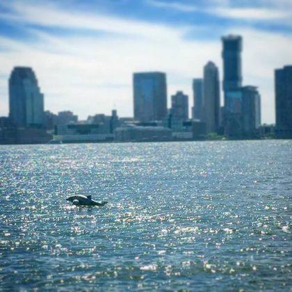 A rare sighting of a Hudson River dolphin. (Courtesy Stefanie DiLibero of Gotham Wellness.)